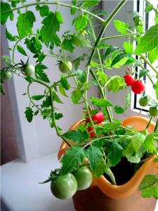 Sort-tomata-Balkonnoe-chudo