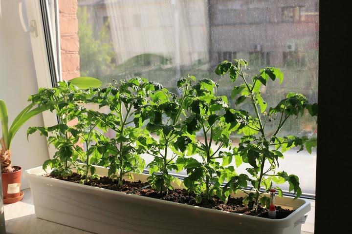 Выращиваем помидоры на подоконнике зимой (освещение, грунт, .
