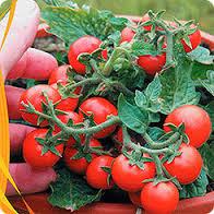 помидоры бонсай