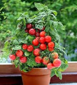 томат бонсай в горшке