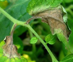 листья помидора больные фитофторозом