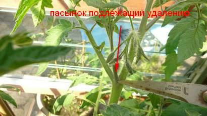 Удаление пасынка у помидоров