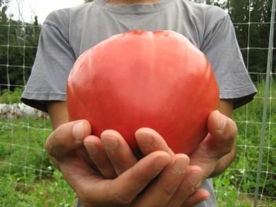 фото томата вельможа