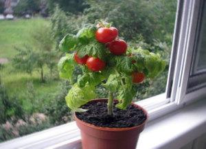 помидор к керамическом горшке на подоконнике