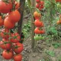 Кисти томатов интуиция