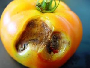 Antraknoz-tomata
