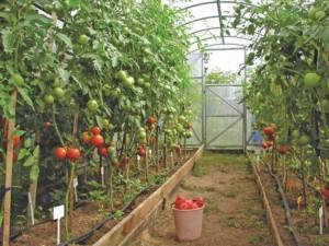 томаты-в-теплице-670x502
