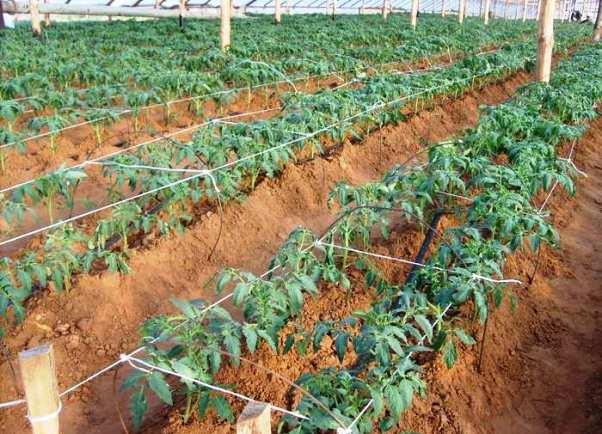 ютуб как вырастить рассаду помидор