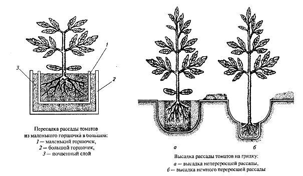 shema-posadki-tomatov-v-