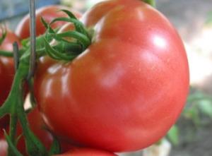 tomat-pink-unikum_1