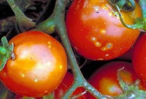 Бактериальный-рак-томата-3