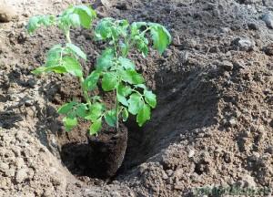 Рассада помидор в грунт 41