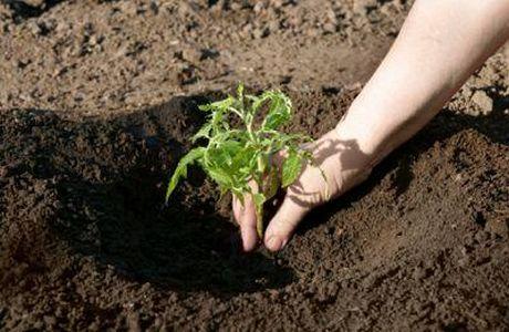 Как посадить огурцы в теплице правильно 12