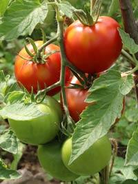 tomat-f1-leopold-24-07-s