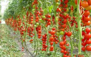 томат-де-барао