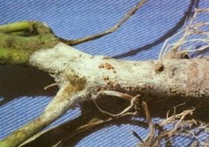 Опробковение корней томата