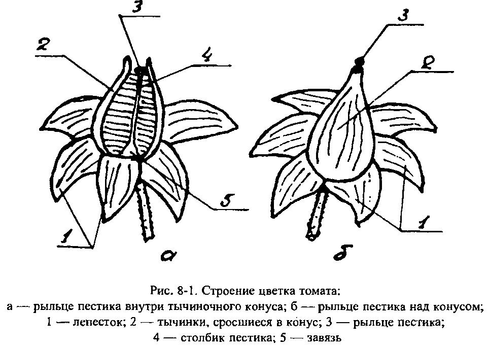 цветок томата строение