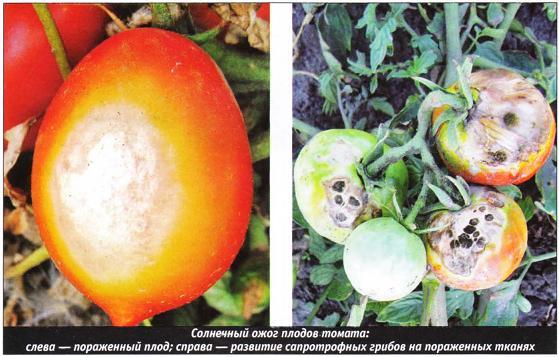 solnechnyy-ozhog-pomidor