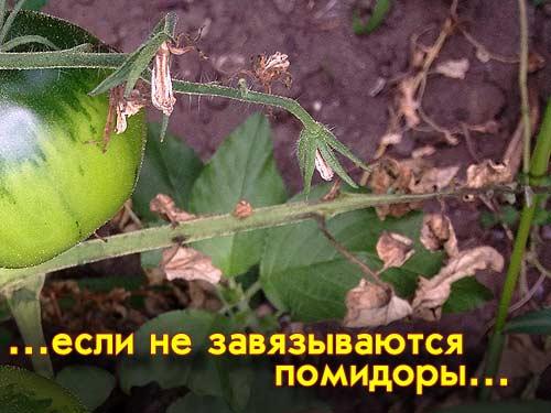 Цвет цветков у помидор фото