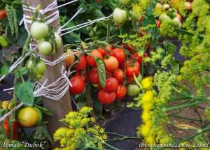 томат дубрава фото отзывы
