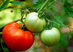 Созревание-томатов