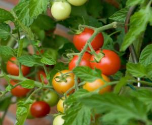 Tomat-Betta