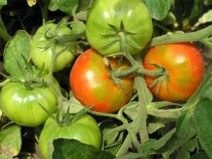 tomatyi-gruntovyie