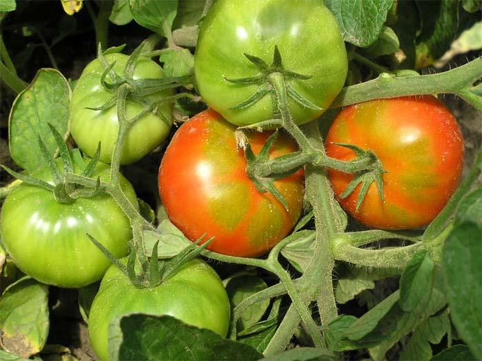 Уход за помидорами в период созревания плодов