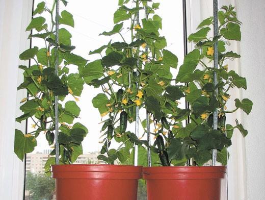 Выращивание корнишонов в домашних условиях 85