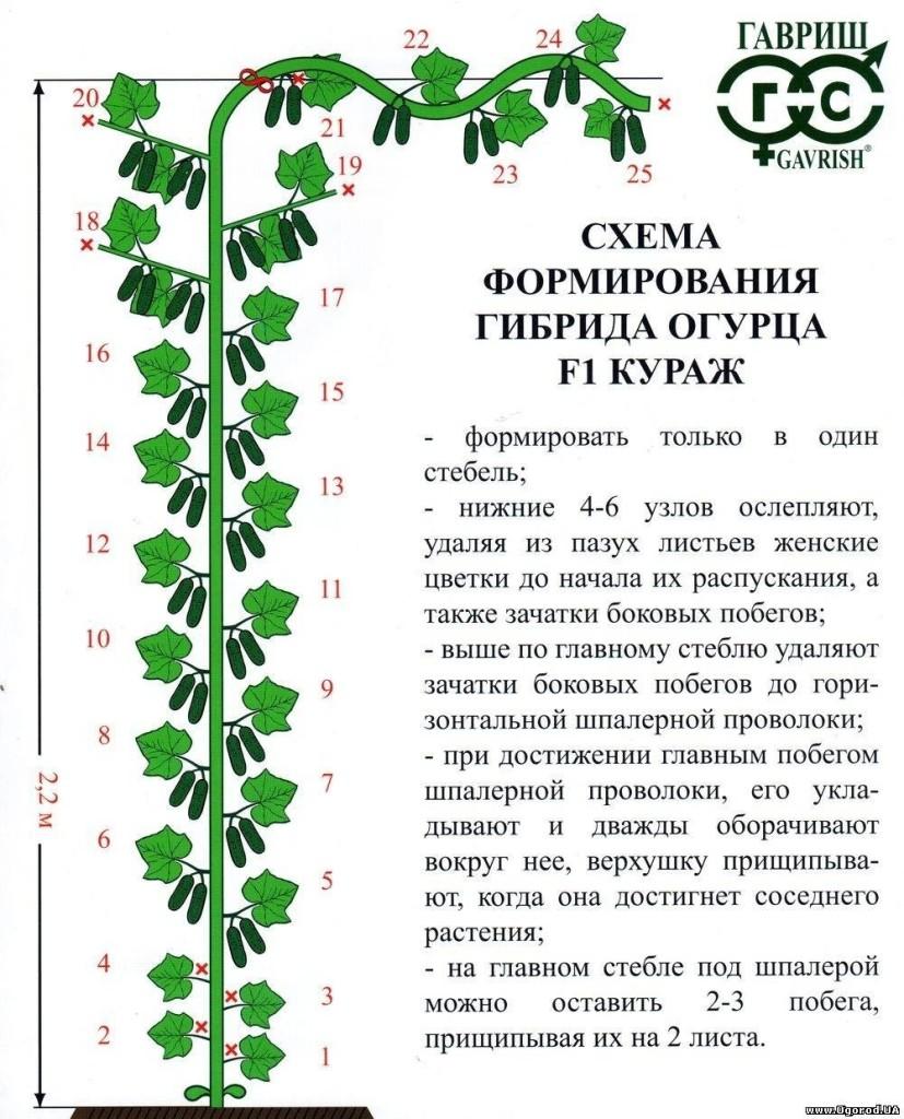 Огурец Клавдия: характеристика и описание сорта