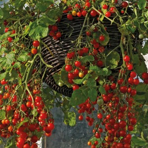 Hanging basket of tomatoes \'Hundreds and Thousands\'