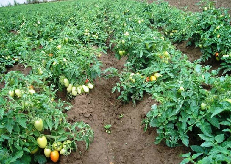 Томат Старосельский характеристика и описание сорта урожайность с фото