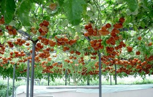 5-Плоды помидорного дерева