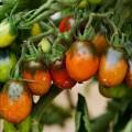 Tomato Black Maur Томат Чёрный Мавр Tomat Must Mavr