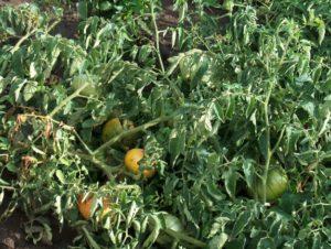 Тля на помидорах: как бороться, что делать 92