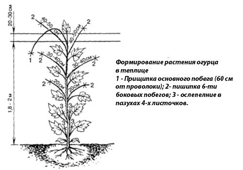 Shema-formirovanija-ogurca-v-teplice1