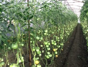 kak-pravilno-pasynkovat-pomidory-video-3