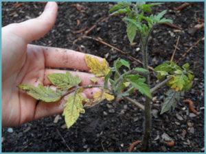 pochemu-zhelteyut-listya-u-pomidorov-1