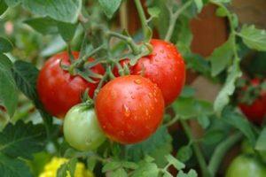 podkormka-pomidorov