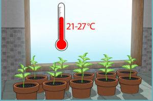 При какой температуре могут погибнуть помидоры рассада