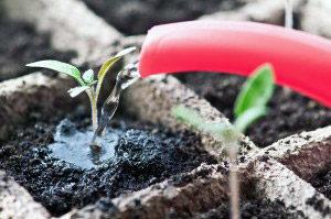 Чем подкормить рассаду помидор: удобрения и сроки 57