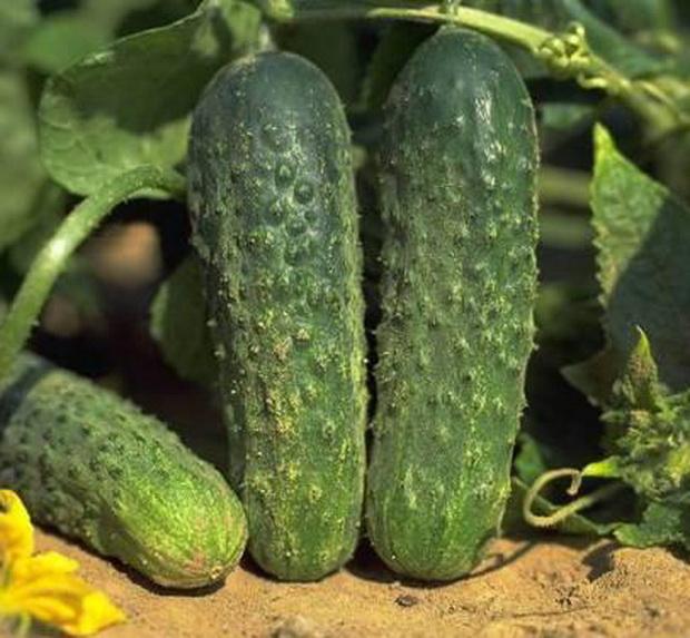 Огурцы аякс описание и характеристики сорта выращивание с фото