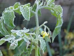 При какой температуре замерзает рассада помидор