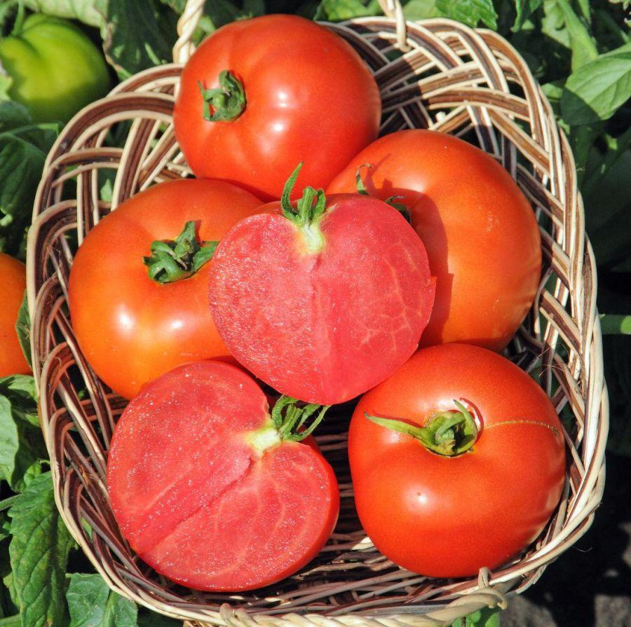 Никола сорт помидор