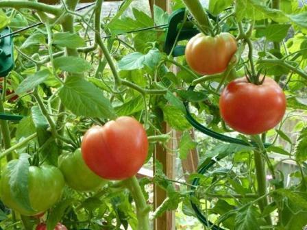 Характеристика и описание сорта томата Грунтовый Грибовский