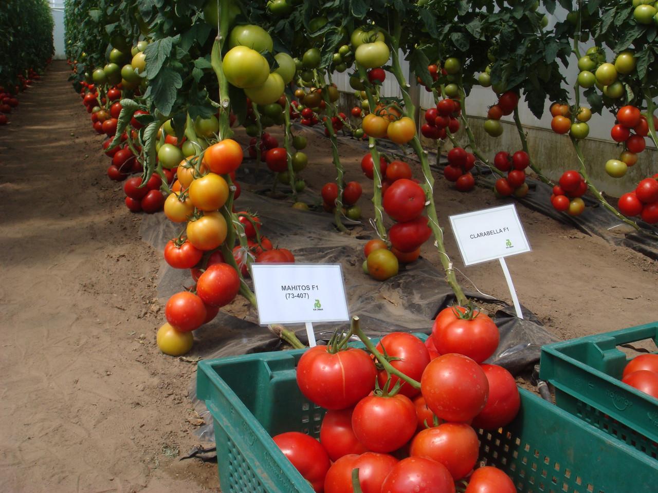 Описание гибридного сорта, характеристика плодов и его достоинства с фото